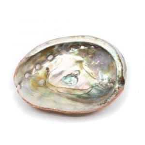 Abalone-Muschel- Klein - 50 bis 70 mm